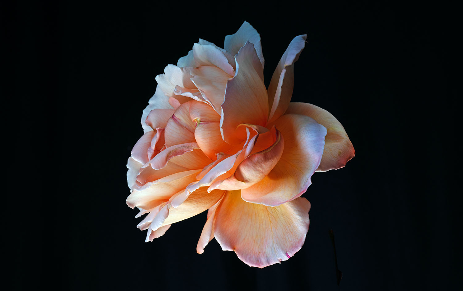 Rob Love Photography, Melbourne. Photo of Flower, Ageless Beauty